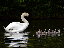 © Licensed to London News Pictures. 16/05/2012. Chiswick, UK The father and his seven cygnets. A family of Mute swans and their brood of 7 Cygnets explore a lake in Chiswick this morning. The birth of cygnets traditionally heralds the start of summer in the UK. Photo credit : Stephen Simpson/LNP
