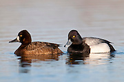 Lesser Scaup, Aythya affinis, Shiawassee River, Saginaw County, Michigan