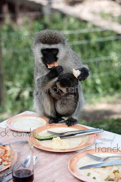 Vervet Monkey Chlorocebus stealing food in the masai mara reserve in kenya africa