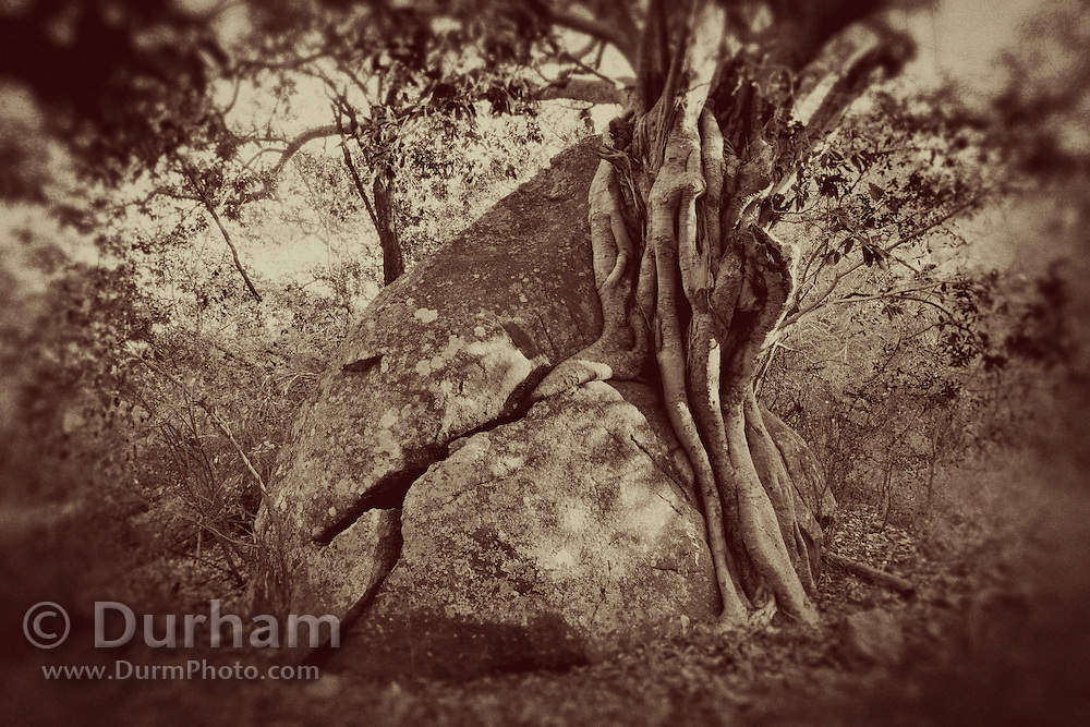 A fig tree (Ficus abutilifolia) in the granite dominated landscape of Matobo National Park, part of the Motopos Hills area in Zimbabwe. The park is an U.N. UNESCO World Hertiage Site. © Michael Durham / www.DurmPhoto.com