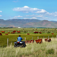 Rancher Herding Cattle on Four Wheeler near Arco, Idaho<br />