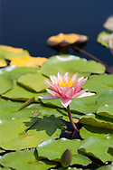 Water lily flower rising above the colorful leaves