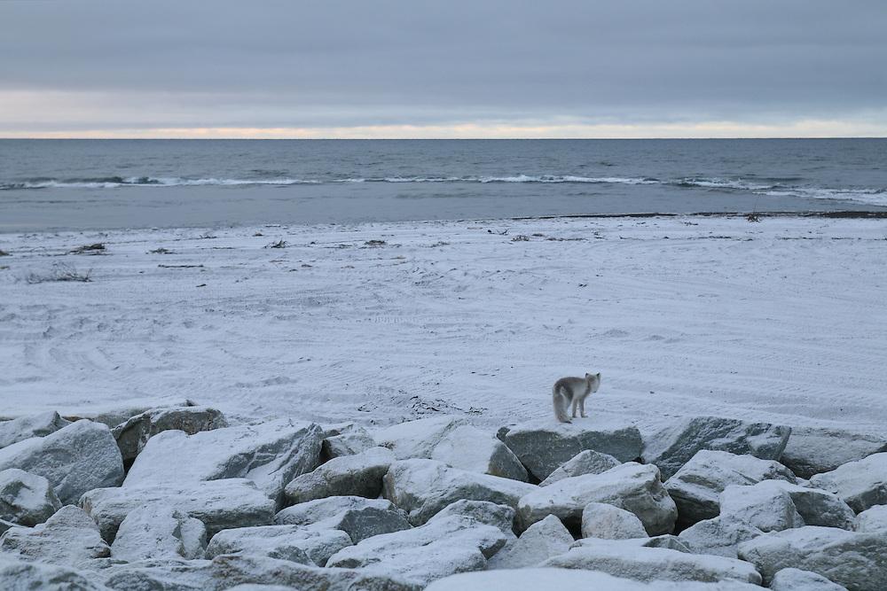 A fox on the Kivalina, Alaska sea wall. 2009
