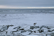 A fox on the Kivalina, Alaska sea wall. 2009