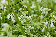 Armbloemige look, Allium paradoxum