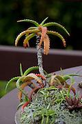 Aloe plant, Kula Botanical Garden, Upcountry, Maui, Hawaii