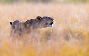 Liponess calling in the golden grass of the savannah in Maasai Mara, Kenya.