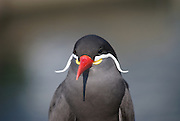"The Bird With A Magnificent Moustache<br /> <br /> The Bougainville moustached kingfisher might be the one with word ""moustache"" in its name but it's the dark grey plumaged Inca tern of the family Sternidae that sports the most magnificent whiskers.<br /> <br /> The Inca tern features a pair of striking Dali-like white handlebar moustache of specialized feathers that grow out from the fleshy yellow gape at the corners of its brilliant red beak. The moustache is not male exclusive, it's shared by the females as well. Aside from being an unusual ornament and a matter of pride, the length of the bird's moustache is also a reliable signal of its body condition —the longer the moustache, the healthier the birds. Inca terns with longer moustaches tend to mate together and have more and larger chicks.<br /> Inca terns breed along the west coast of South America from northern Peru to central Chile, a region once ruled by the mighty Inca Empire which gives the species its name. This is where the cold nutrient-rich Humboldt current flows just off-shore, carrying with it swarms of small ocean fish such as anchovies which the bird feeds on. It spots its prey from the air, and then dives into the water to grab meals with its pointed beak. The birds also scavenge scraps from sea lions, dolphins, and fishing boats, but small fishes are its staple diet.<br /> <br /> Reduction of anchovy stocks due to commercial fishing and excessive guano harvesting which destroys breeding ground has led to major decline in population of the Inca tern. Once numbering in the millions, the current population estimate is just over 150,000 birds, and the species is now listed as near threatened by the International Union for the Conservation of Nature. Although fishing for anchovies has been banned in Peru, and guano harvesting is also regulated, natural factors such as recurring cyclones and predators such as rats and cats on some islands can also prevent nesting or reduce breeding success.<br /> ©Exclusivepix Media"