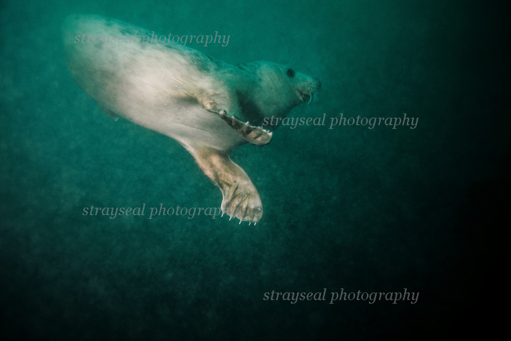 Inquisitive seal underwater. Wildlife filming Northumberland.