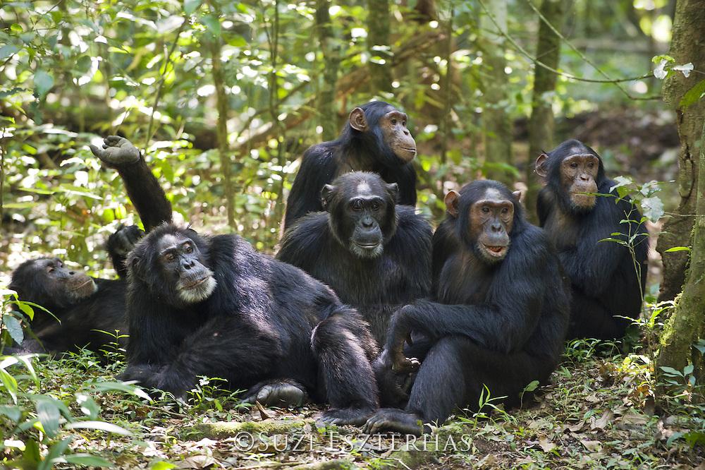 Chimpanzee<br /> Pan troglodytes<br /> Group resting on forest floor<br /> Tropical forest, Western Uganda