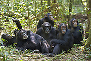 Chimpanzee<br /> Pan troglodytes<br /> Group resting on forest floor<br /> Tropical forest, Western Uganda