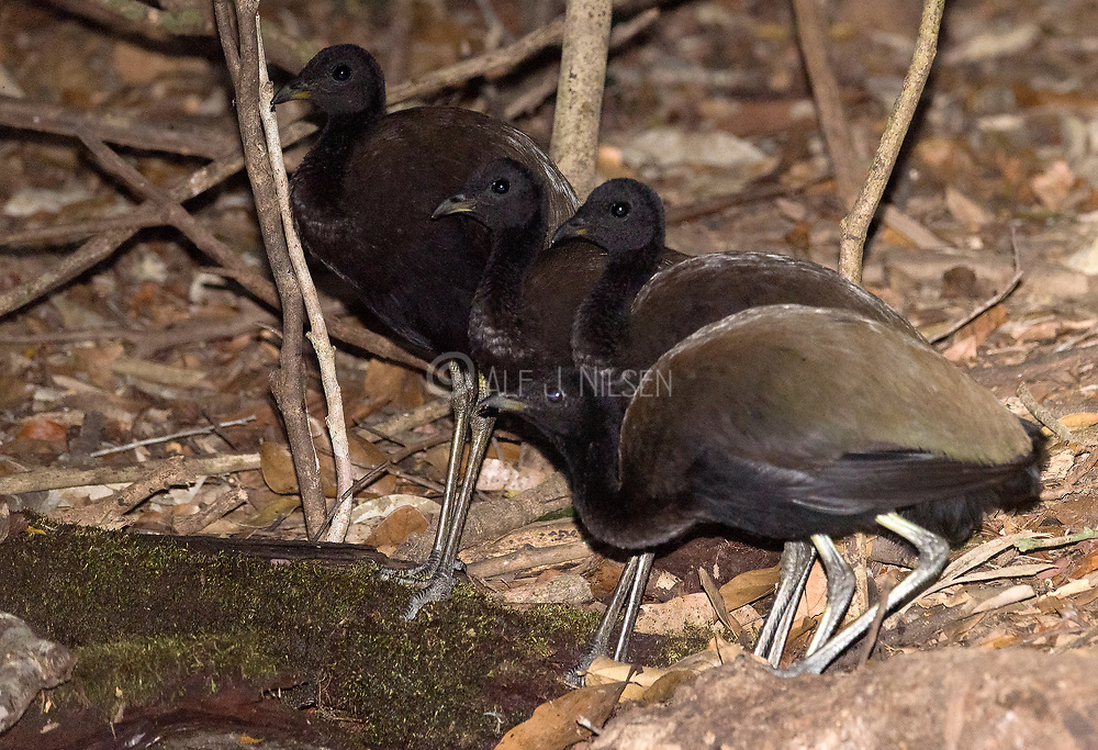A group of dark-winged trumpeter (Psophia viridis) come to a water hole in the rainforest to drink. Southern Amazon, Brazil.