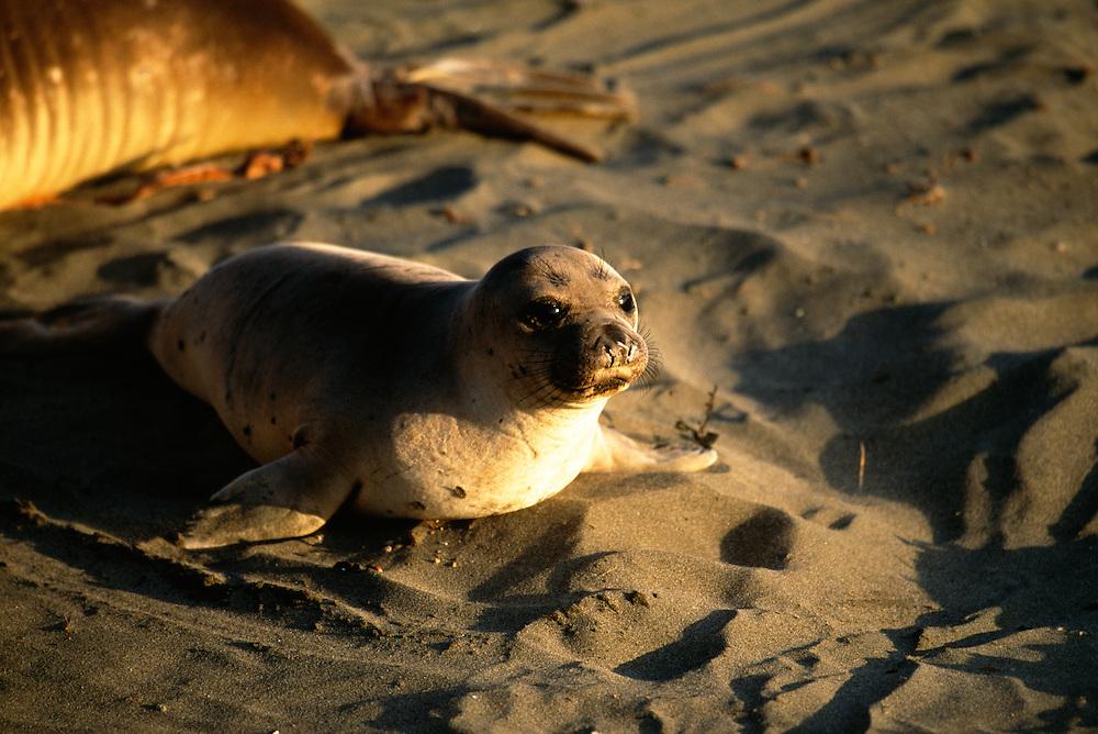 Elephant Seals resting on sand
