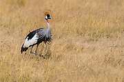 Grey Crowned Crane (Balearica regulorum)  in Amboseli National Park, Kenya.