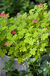 Pelargonium 'Concolor Lace' growing in galvanised container