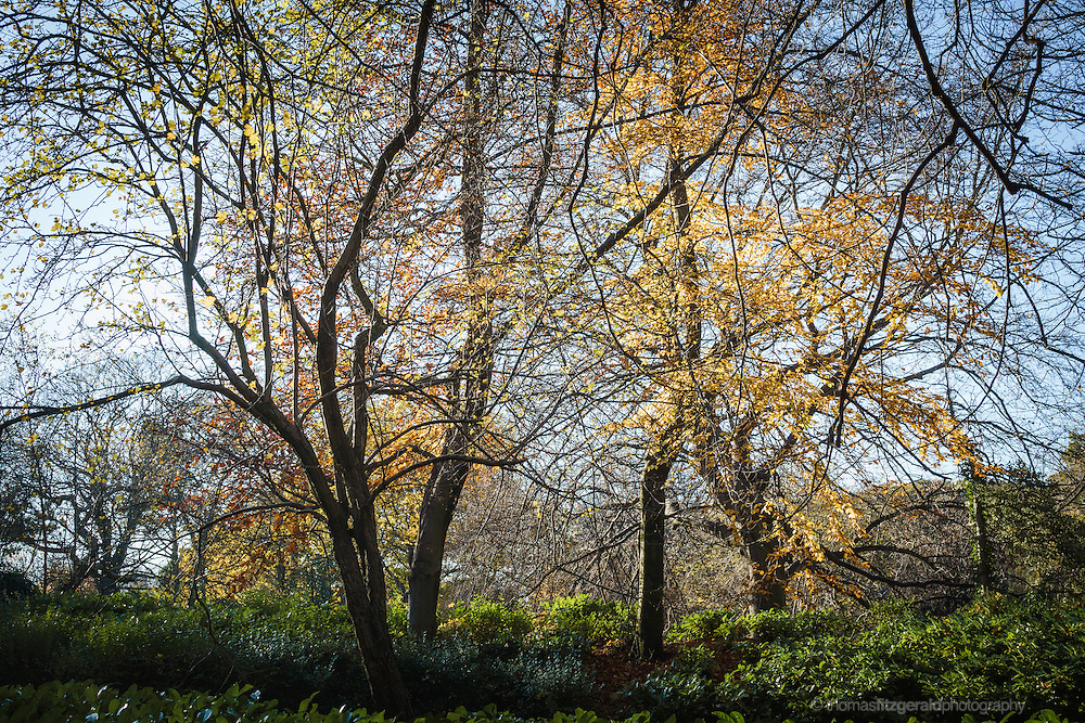 Autumn coloured leaves on tree branches in Dublin's St. Stephen's Green