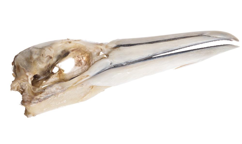 Gannet skull, Scotland