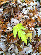 A colorful, freshly fallen, Silver Maple (Acer saccharinum) leaf on a bed of older leaves.