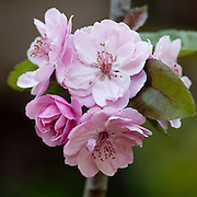 Photograph of pink crabapple blossoms in a square format.