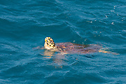 Hawksbill sea turtle (Eretmochelys imbricata). Only female adult turtles come ashore, doing so to lay their eggs. This is the smallest of the marine turtles, rarely more than a metre in length. It lives in warm seas and oceans throughout the world, preferring shallow water. It eats mainly fish and crustaceans. This species is critically endangered. Photographed in the Seychelles in February