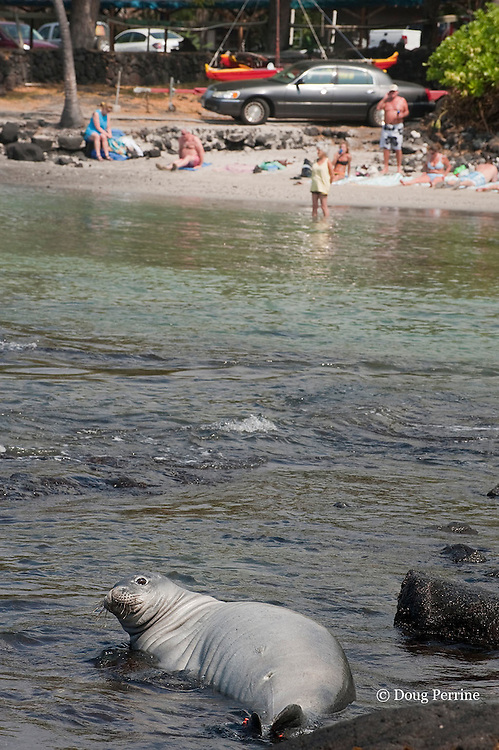 Hawaiian monk seal, Monachus schauinslandi ( Critically Endangered endemic species ), rests in shallow water just across from sunbathers at public beach, Pu'uhonua o Honaunau ( City of Refuge ) National Historical Park, Kona, Hawaii ( Big Island ) ( Central Pacific Ocean )