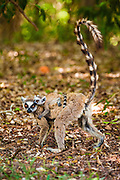 Ring-Tailed Lemur (Lemur catta) mother with baby