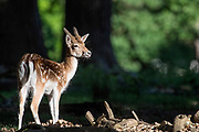 UNITED KINGDOM, London: 12 May 2020 <br /> A fawn fallow deer grooms itself in the early morning sunshine in Richmond Park early this morning. The weather in the capital, although starting sunny and cold today, is set to be cloudy for the rest of the week.