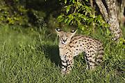 Serval<br /> Felis serval<br /> 13 week old orphan serval kitten in defensive posture<br /> Tanzania