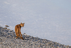 A puma (Puma con color) also known as a mountain lion or cougar, walking along a rocky stromolite lakeside beach and looking back, Torres del Paine, Chile, South America
