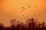 Snow geese coming into a field at sunset - Mississippi.