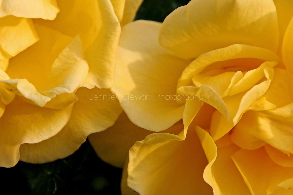 Phoenix, AZ, USA; Yellow Rose Mandatory Credit: Jennifer Stewart