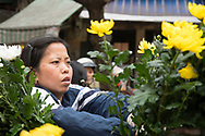 A Vietnmese woman selling yellow chrysanthemums to celebrate the Tet holiday in the Old Quarter, Hanoi, Vietnam, Southeast Asia