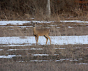 Even though an eighth of a mile distant, this Lower Michigan Whitetail Deer kept a watchful eye on me as I took this photograph. The extent to which these graceful animals blend into their surroundings, especially during the winter months, is remarkable.