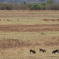 Warthog and puku graze and rest on the savanna.