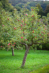 Malus domestica 'Crawley Beauty'. Apple tree in the orchard at West Dean Garden, West Sussex