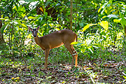 Red brockets (Mazama americana) are the largest of the brocket deer species. Brocket deer are small forest-dwelling deer found in Central and South America. Photographed in Costa Rica