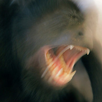 Central America, Costa Rica, Tamarindo. Howler Monkey in motion.