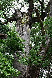 31 May 2013:  Mighty old Oak Tree with missing branches and knotholes.  Scenery and flooding in Tazwell and Mason Counties in Illinois