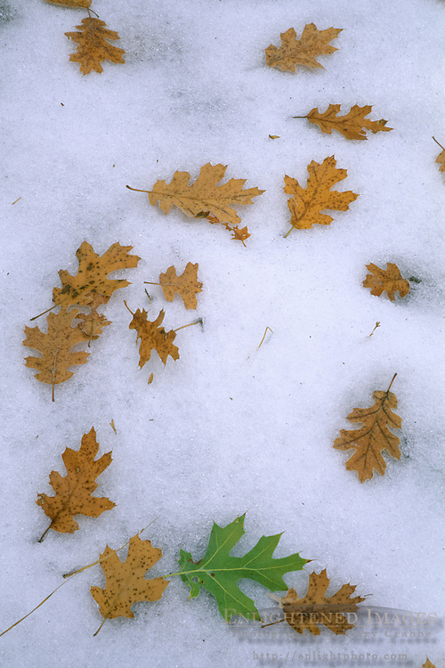 Oak leaves on early season snow in fall, Yosemite Valley, Yosemite National Park, CALIFORNIA