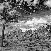 Joshua Grove At Dusk - Joshua Tree National Park CA - Infrared Black & White