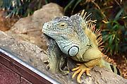 Green Iguana at the Loro Parque aquarium and Theme Park, Costa Adeje, Tenerife, Canary Islands, Spain