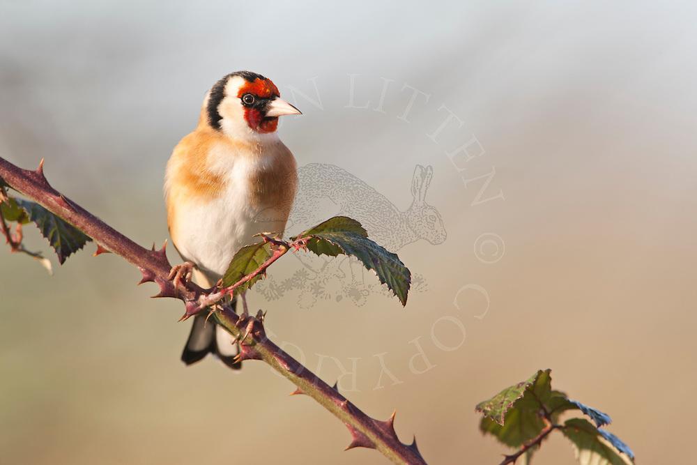 European Goldfinch (Carduelis carduelis) adult, perched on bramble, winter, Norfolk, UK.
