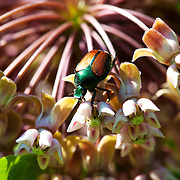 The beetle species Popillia japonica is commonly known as the Japanese beetle. It is about 15 millimetres long and 10 millimetres wide, with iridescent copper-colored elytra and green thorax and head.<br /> Photography by Jose More