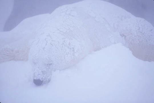 Polar Bear, (Ursus maritimus) Churchill, Manitoba. Canada.