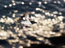 Razorbill (Alca torda) in flight, Varanger, Finnmark, Norway