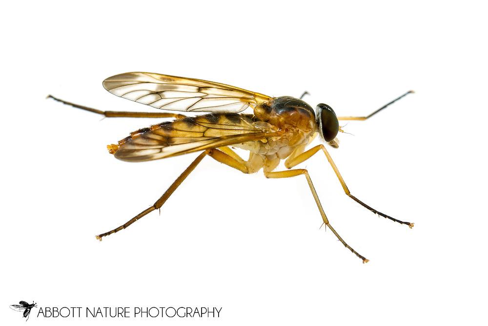 Snipe Fly (Rhagio sp.)<br /> ALABAMA: Tuscaloosa Co.<br /> Tulip Tree Springs off Echola Rd.; Elrod<br /> 15-April-2016<br /> J.C. Abbott #2795 &amp; K.K. Abbott