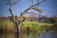 Tree skeleton in the Marataba River, Marataba Private Game Reserve, Limpopo, South Africa