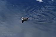 Northern fulmar, aka Arctic fulmar (Fulmarus glacialis) swims in Kongsfjorden, Svalbard.