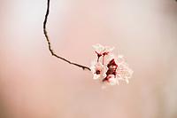 Cherry Blossom, Calistoga, California