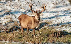 Red deer stags forage for food in the snow.<br /><br />The snow had taken West Lothian by surprise on Christmas night.<br /><br />(c) Alex Todd | Edinburgh Elite media